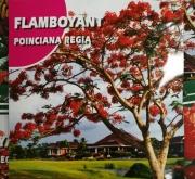 FLAMBOYANT (1 gr.).
