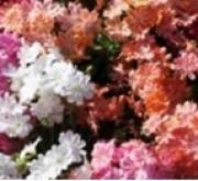 LEWISIA ELISE MIX (240 Plantas).