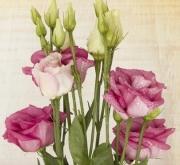 LISIANTHUS CARMEN DEEP PINK (240 Plantas.)