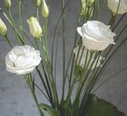 LISIANTHUS CARMEN WHITE (240 Plantas.)