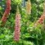 LUPINUS LUPINI MIX (240 Plantas.)