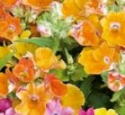 NEMESIA NEBULA (240 Plantas).
