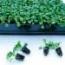 PENSAMIENTO DYNAMITE CLEAR YELLOW (240 Plantas).