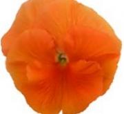 PENSAMIENTO DYNAMITE DEEP ORANGE (240 Plantas).
