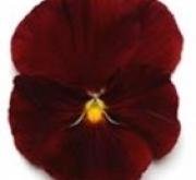 PENSAMIENTO MATRIX SCARLET (240 Plantas).
