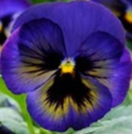 PENSAMIENTO MATRIX MIDDNIGHT GLOW (240 Plantas).