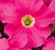 PETUNIA EZ RIDER PINK (240 Plantas).