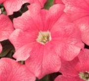 PETUNIA EZ RIDER SALMON (240 Plantas).