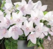 PLATYCODOM POP STAR ROSA (240 Plantas).