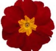 PRIMULA ACAULIS LIDER VELVET RED (240 Plantas).