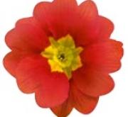 PRIMULA ACAULIS LIDER COPPER (240 Plantas).