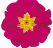 PRIMULA ACAULIS LIDER ROSE (240 Plantas).