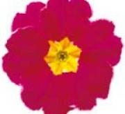 PRIMULA ACAULIS LIDER CHERRY (240 Plantas).