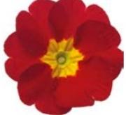 PRIMULA ACAULIS LIDER RED (240 Plantas).