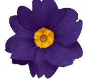 PRIMULA ACAULIS LIDER BLUE (240 Plantas).