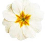 PRIMULA ACAULIS LIDER WHITE (240 Plantas).