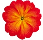 PRIMULA ACAULIS LIDER BICOLOR RED YELLOW (240...