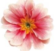 PRIMULA ACAULIS LIDER BICOLOR PINK (240 Plantas).
