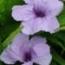 RUELLIA SOUTHERN STAR AZUL (144 Plantas).