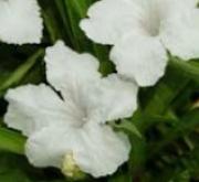 RUELLIA SOUTHERN STAR BLANCO (144 Plantas).