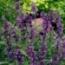 SALVIA EVOLUTION (240 Plantas).
