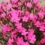 SILENE SHOCKING PINK (240 Plantas).