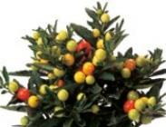 Solanums