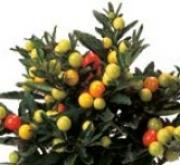 SOLANUM THURINO (240 Plantas).