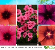 VINCA TATTOO MIX (240 Plantas).