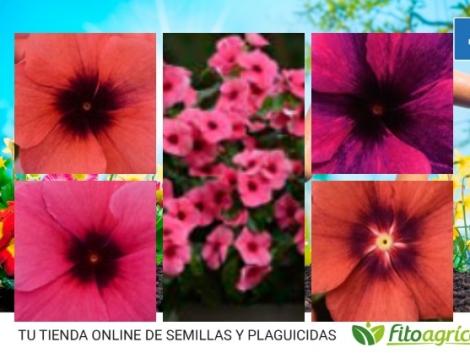 VINCA TATTOO MIX (240 Plantas).