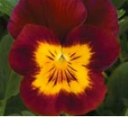 VIOLA CORNUTA PENNY RED WITH YELLOWFACE (240...