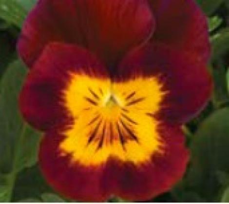 VIOLA CORNUTA PENNY RED WITH YELLOWFACE (240 Plantas).