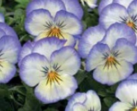 VIOLA CORNUTA PENNY PURPLE PICOTEE (240 Plantas).