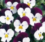 VIOLA CORNUTA PENNY WHITE JUMP UP (240 Plantas).