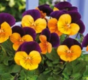 VIOLA CORNUTA PENNY ORANGE JUMP UP (240 Plantas).
