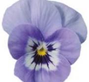 VIOLA CORNUTA SORBET MARINA (240 Plantas).