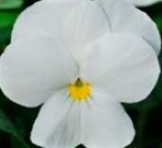 VIOLA CORNUTA SORBET WHITE (240 Plantas).