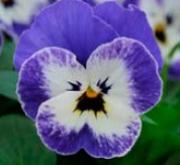 VIOLA CORNUTA SORBET DELFT BLUE (240 Plantas).
