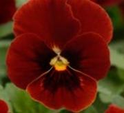 VIOLA CORNUTA SORBET RED BLOTCH (240 Plantas).