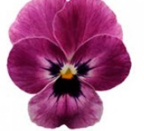 VIOLA CORNUTA SORBET RASPBERRY (240 Plantas).
