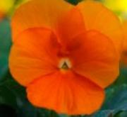 VIOLA CORNUTA SORBET DEEP ORANGE (240 Plantas).