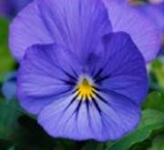 VIOLA CORNUTA SORBET TRUE BLUE (240 Plantas).