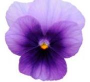 VIOLA CORNUTA SORBET BEACONSFIELD (240 Plantas).