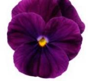 VIOLA CORNUTA SORBET PURPLE (240 Plantas).