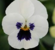 VIOLA CORNUTA SORBET WHITE WITH BLOTCH (240...