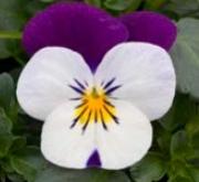 VIOLA CORNUTA SORBET WHITE JUMP UP (240 Plantas).