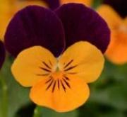 VIOLA CORNUTA SORBET ORANGE JUMP UP (240 Plantas).