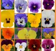 VIOLA CORNUTA SORBET MIX (240 Plantas).