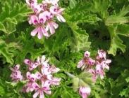 Pelargoniums Antimosquitos