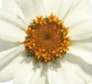 ZINNIA PROFUSSION WHITE (240 Plantas).